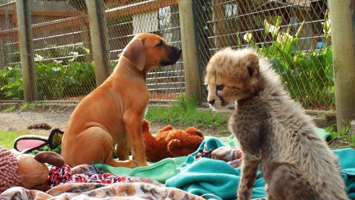 Amistades Insólitas: Mi compañera, la guepardo