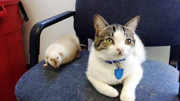 Amistades Insólitas: El Gato y la Rata