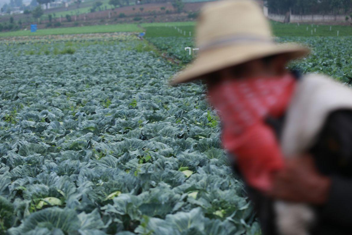El paso de un agricultor mayor de edad, mientras llega a la parcela ubicada en Patzicía, ...