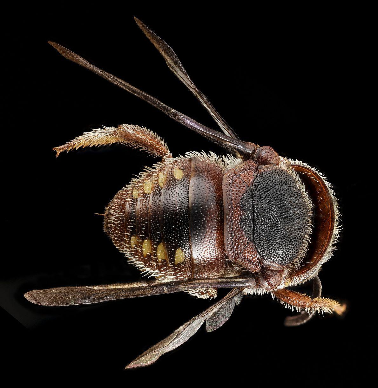 """Esta muchacha se fue lejos de casa. Se trata de una """"Pachyanthidium"""", una abeja nativa de ..."""