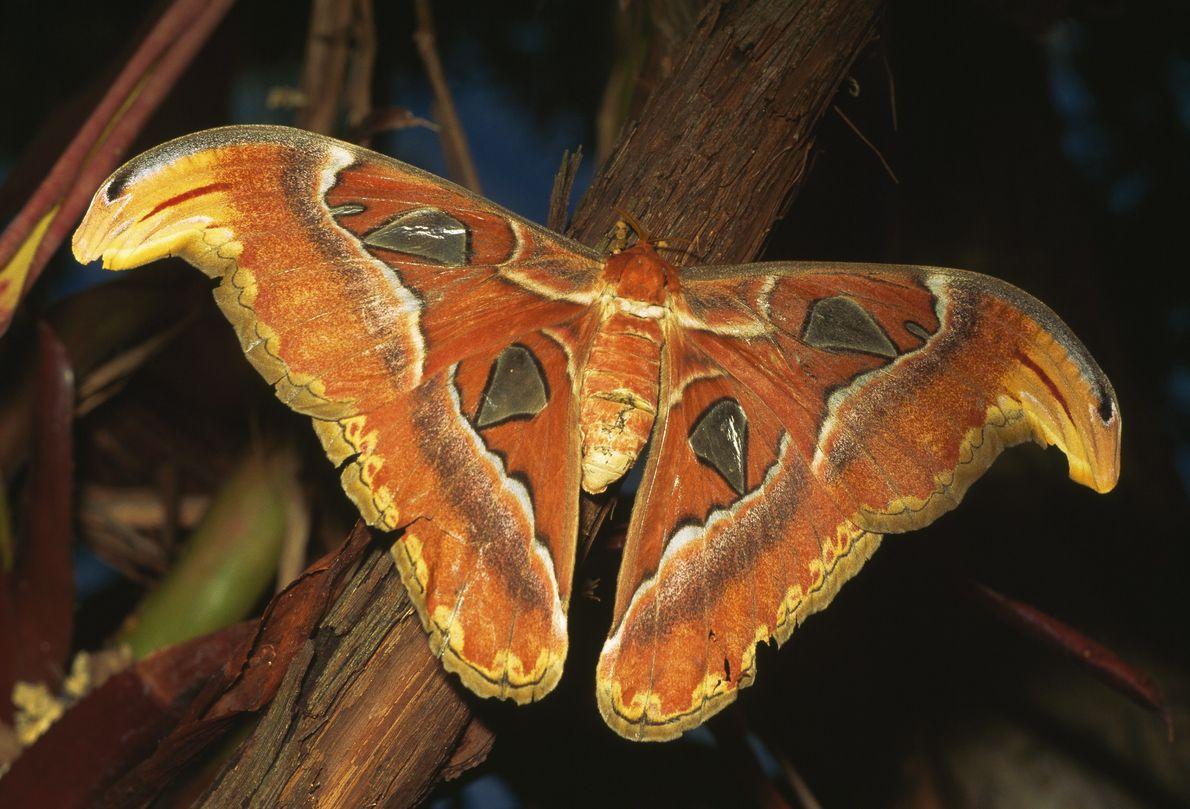 Lapolilla atlas, Attacus atlas, es originaria del sudeste asiático, región sur de China e India. Una ...