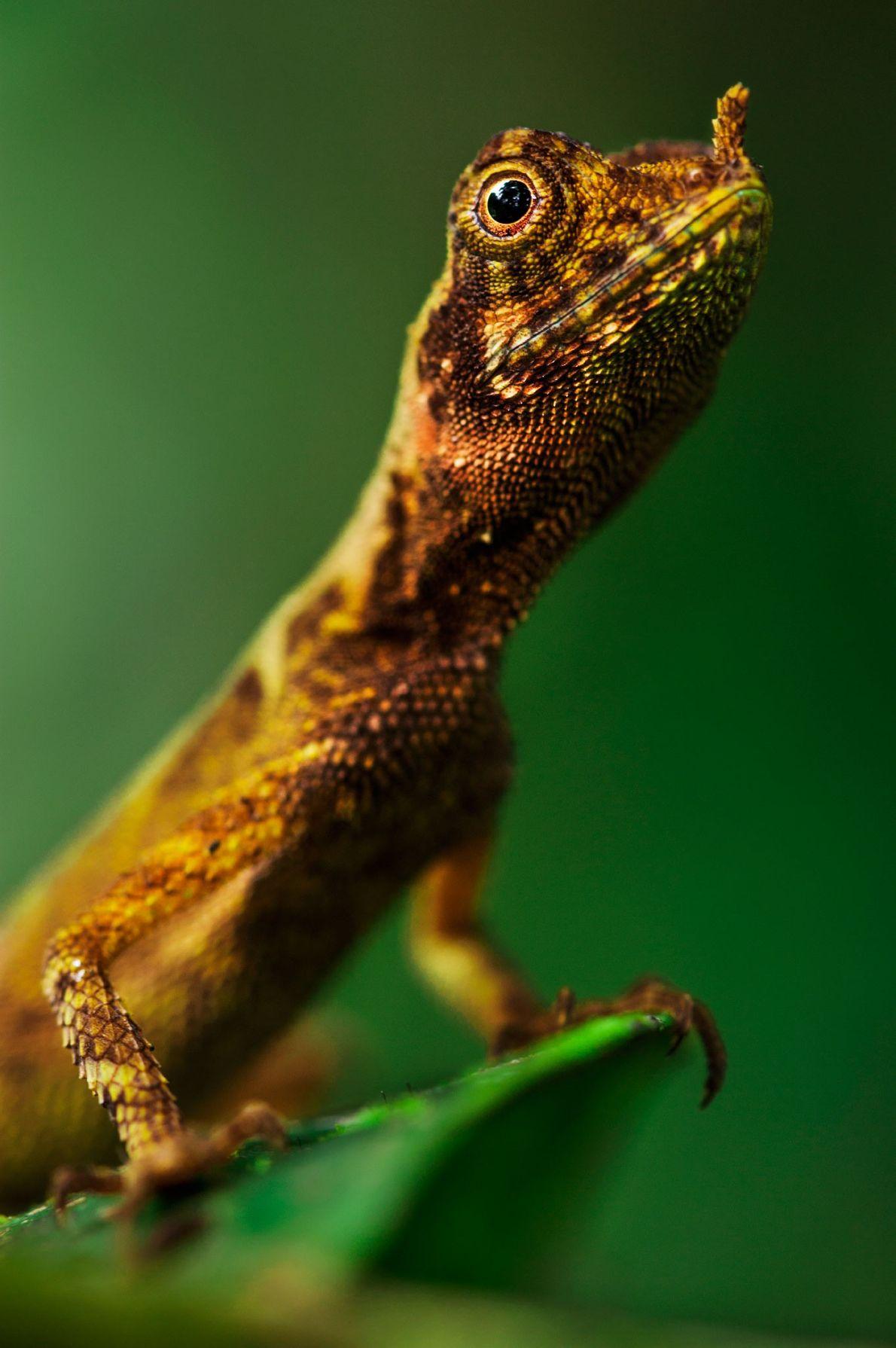 Una lagartija mantiene su cabeza en alto en el valle Danum de la isla de Borneo, ...