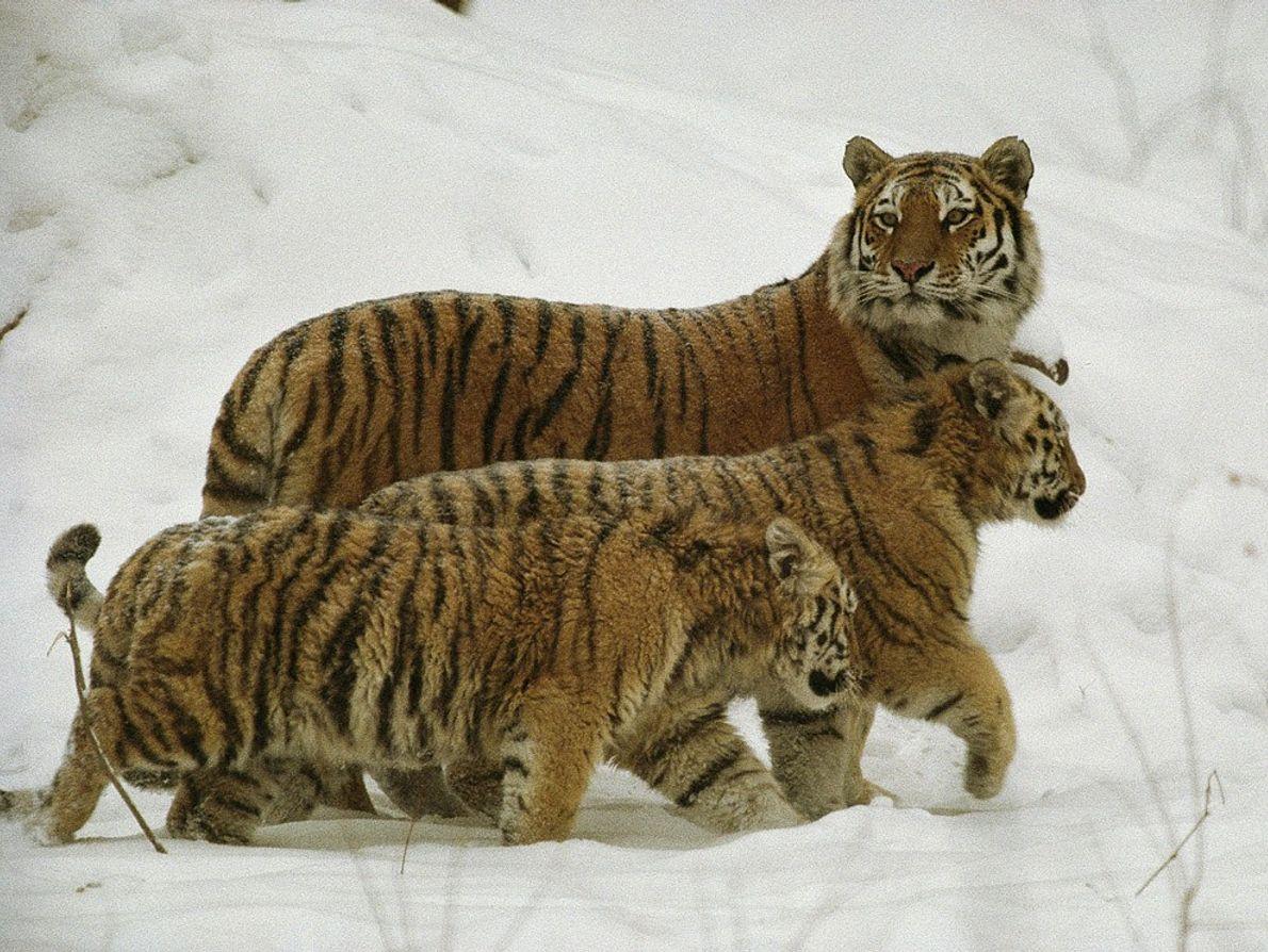 De las tres especies de tigres que existen hoy en día, los tigres siberianos son los ...