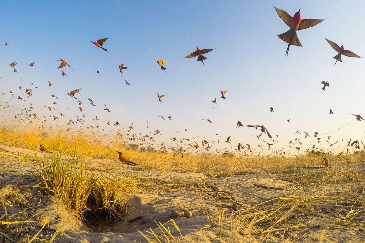 """""""Al atardecer, miles de abejarucos carmesí del sur salen volando de sus campos de anidación en ..."""