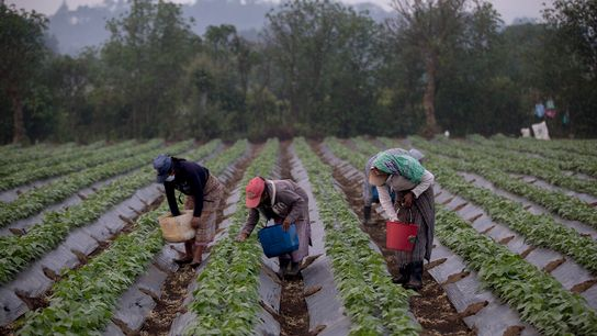 Un grupo de mujeres trabaja desde tempranas horas de la mañana en una parcela en el ...