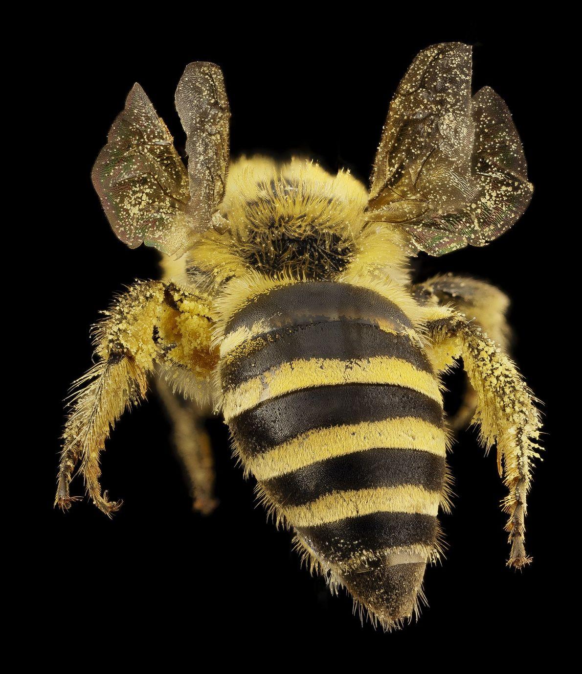 """Esta especie, """"Colletes hederae"""", es nativa de Inglaterra y es especialista en hiedra."""
