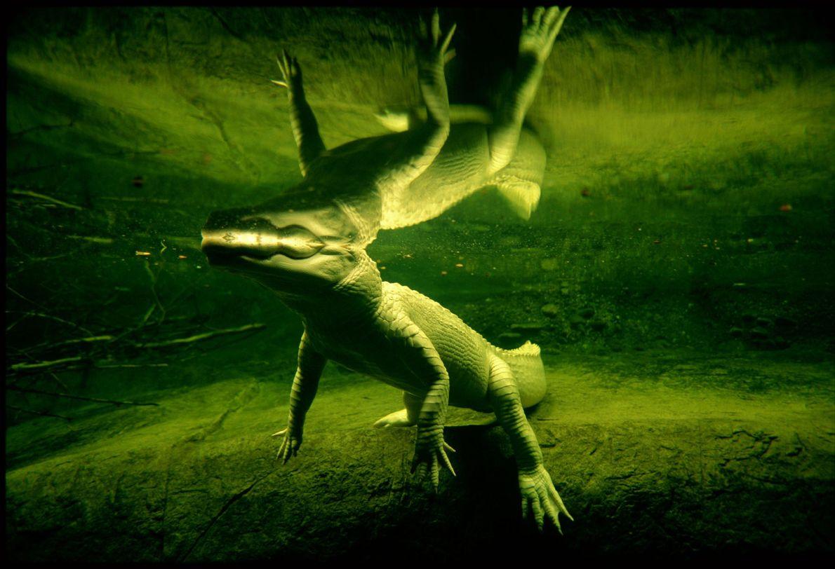 Un raro yacaré blanco nada en Nueva Orleans, Louisiana. El Audubon Aquarium of the Americas estima ...