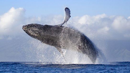 Conozca a las ballenas jorobadas en el lugar donde juegan en Maui