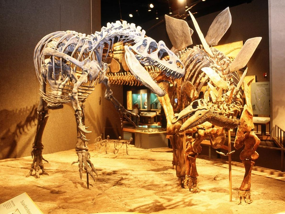 Un Alosaurio y un Estegosaurio se preparan para la batalla en el Museo de Denver en ...