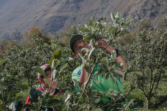 Fernando Condori Torres y su hijo Gonzalo comenzaron a cultivar manzanos frente al sitio arqueológico de ...