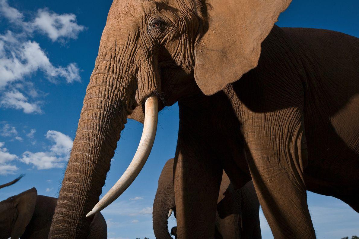 Un elefante en la Reserva Nacional de Samburu, en Kenia, alza su cabeza entre la manada. ...