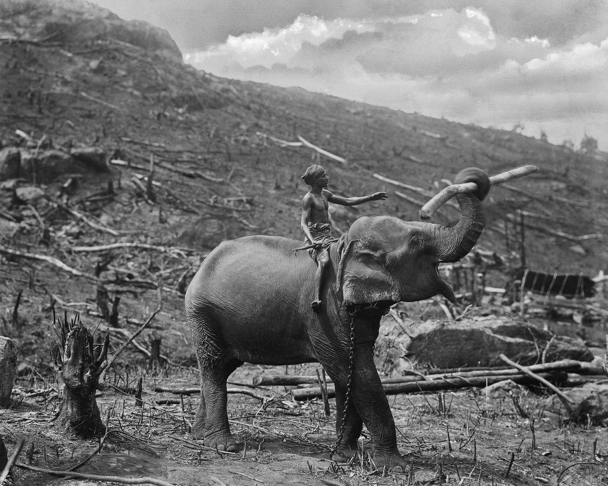 Un hombre monta un elefante a través de campos recién desmalezados en Ceilán, una colonia británica ...