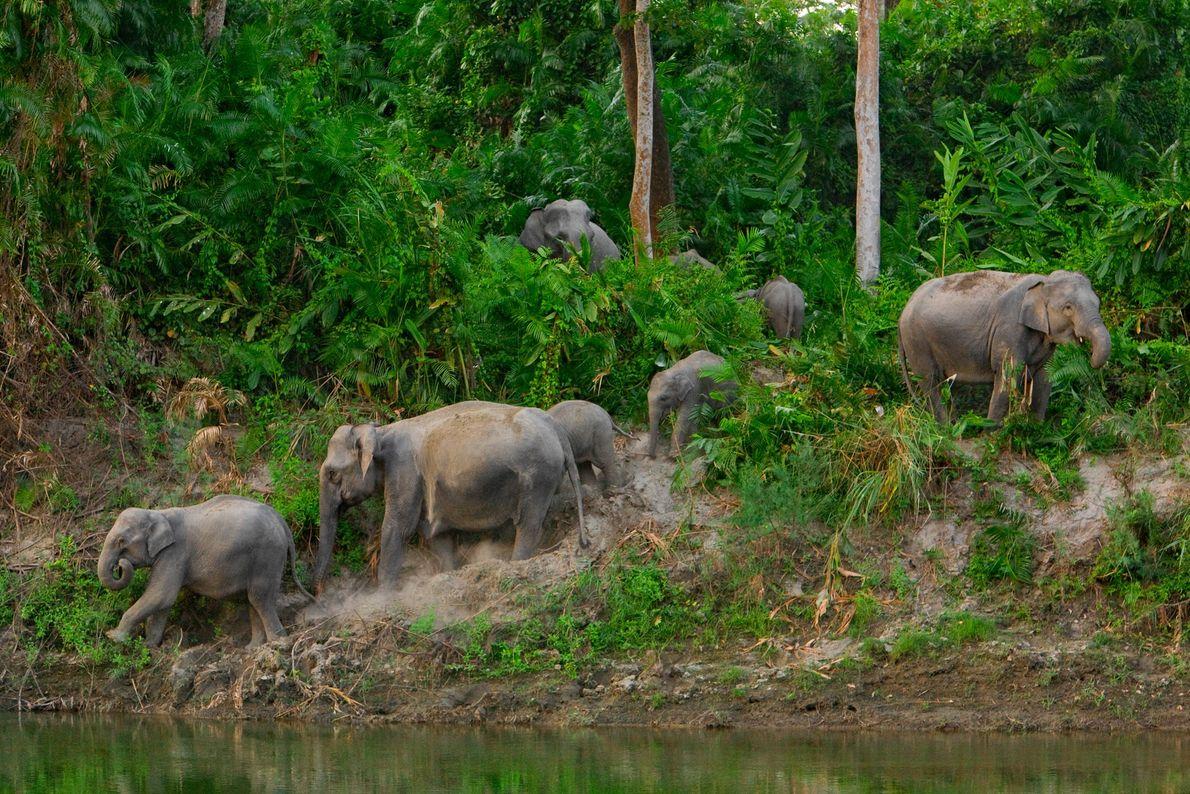 Una manada de elefantes protegidos busca alimentos y líquido en el Parque Nacional de Kaziranga en ...