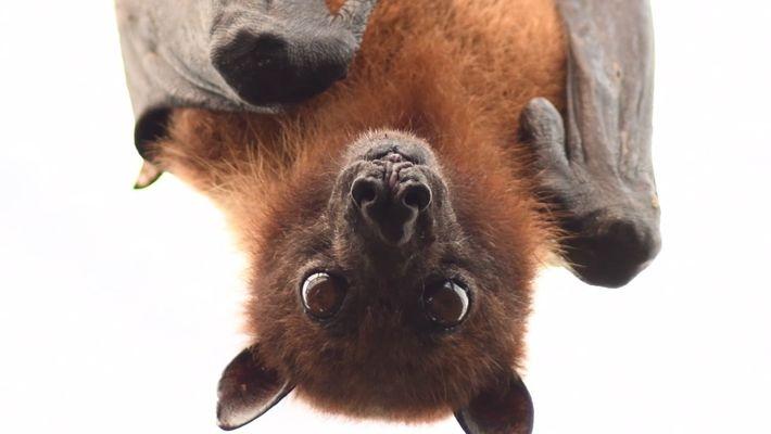 Por qué los murciélagos no son tan aterradores como crees