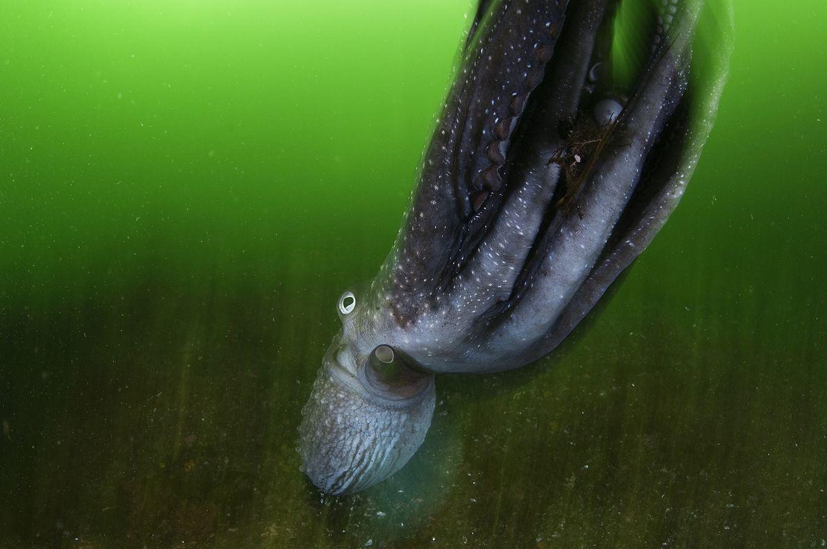 Un pulpo se desliza a través del agua verde en el Parque Nacional de Fiordland en ...