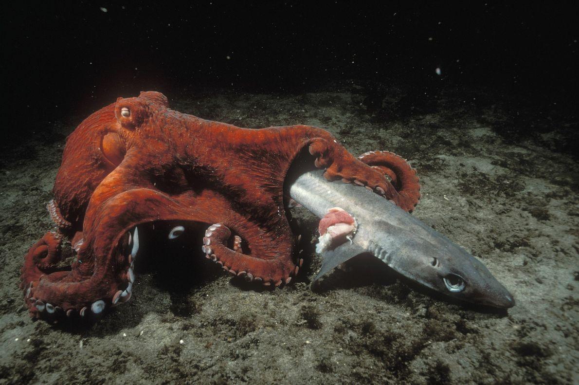 Un pulpo gigante del Pacífico limpia el cadáver de un pez corzo (Squalus acanthias) en la ...