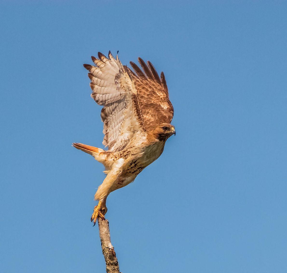 """""""Tomé esta foto de un águililla cola roja justo cuando estaba levantando vuelo en Fayetteville, Carolina ..."""