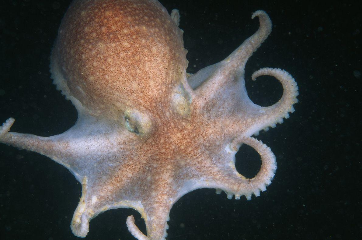 Un pulpo en Rockport, Massachusetts, abre camino en las profundidades del mar oscuro con sus ocho ...