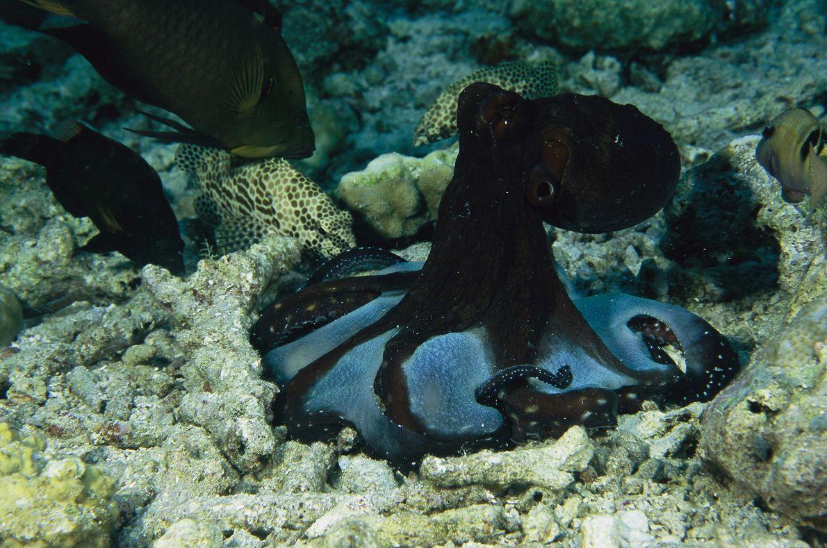 Un pulpo cyanea en las islas Tukangbesi, Indonesia, busca alimento entre las grietas de un arrecife.
