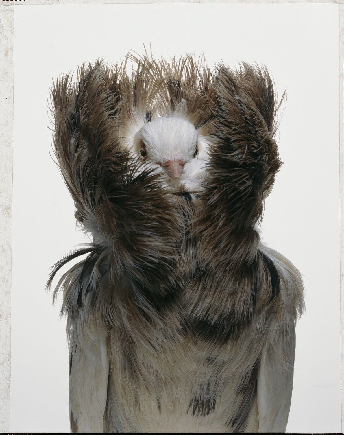 La jacobina es una de las aproximadamente 350 especies de palomas domesticadas que hay en el ...