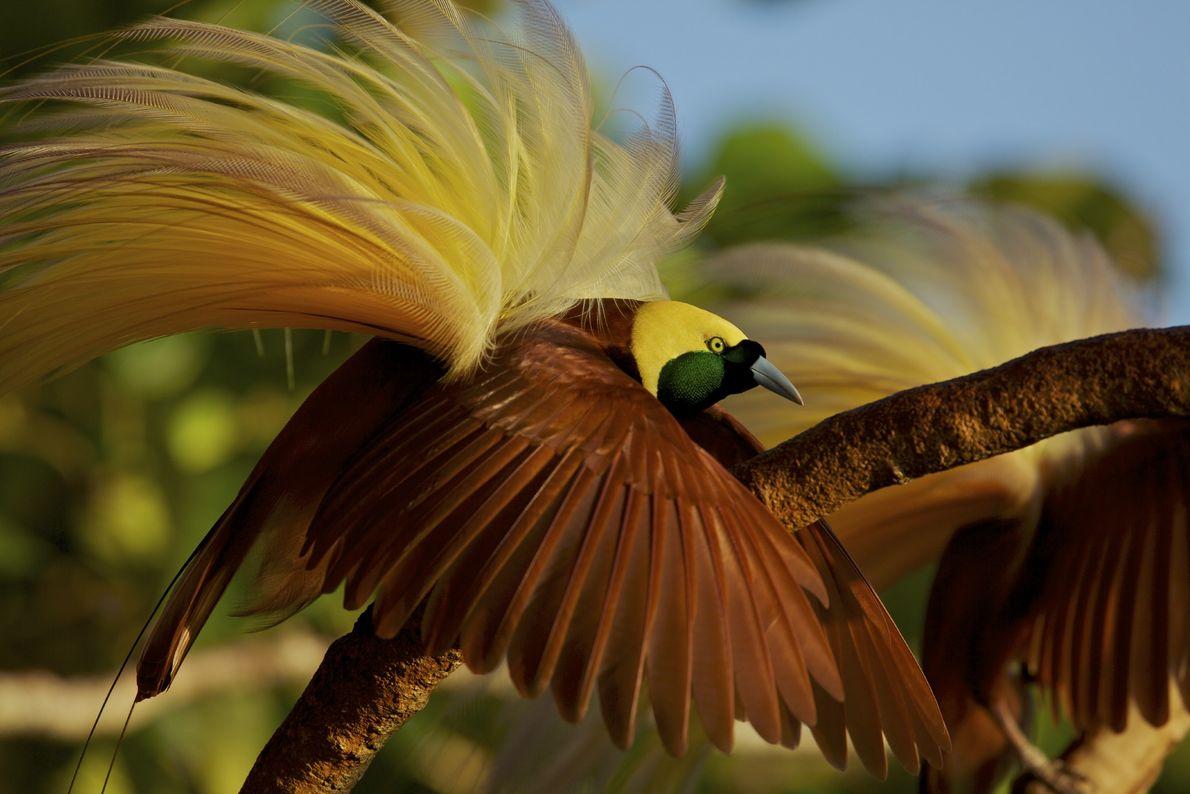 Un macho de ave del paraíso mayor (Paradisaea apoda) posa con la esperanza de atraer a ...