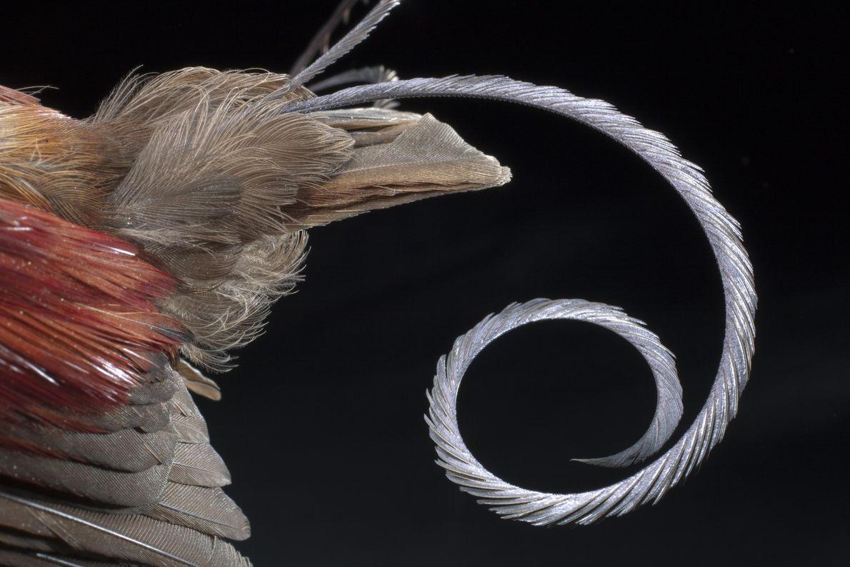 Un macho adulto del ave del paraíso republicana (Cicinnurus respublica) muestra su cola modificada tipo cable ...
