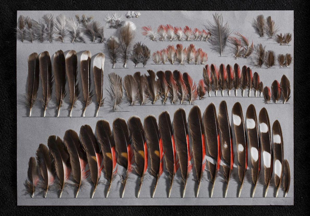 Las plumas montadas desde el lado izquierdo de un macho joven de treparriscos (Tichodroma muraria) son ...