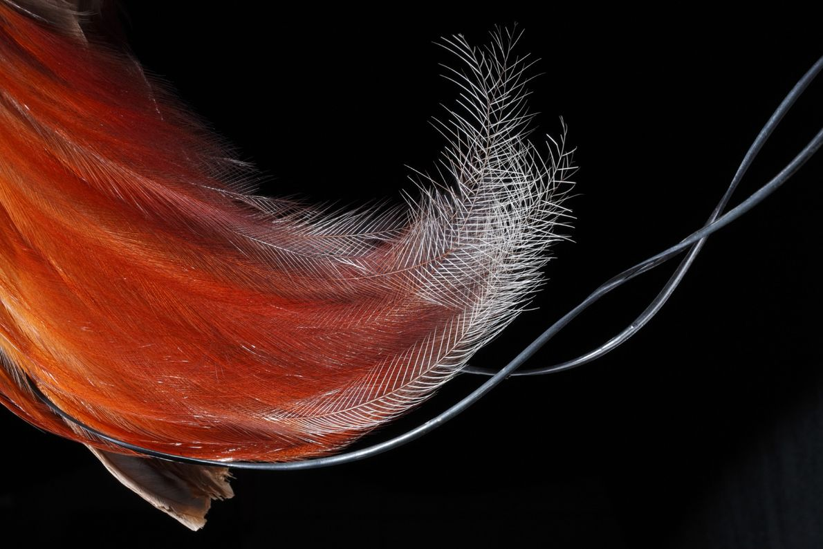 En la vida real, un macho de ave del paraíso roja (Paradisaea rubra) solo mostraría las ...