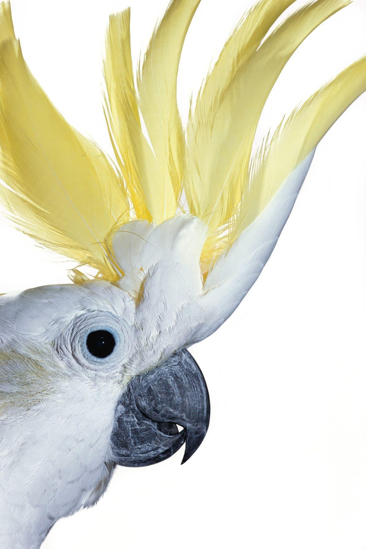 Una cacatúa galerita despliega su cresta para mostrar sus delicadas plumas amarillas. La especie obtuvo su ...