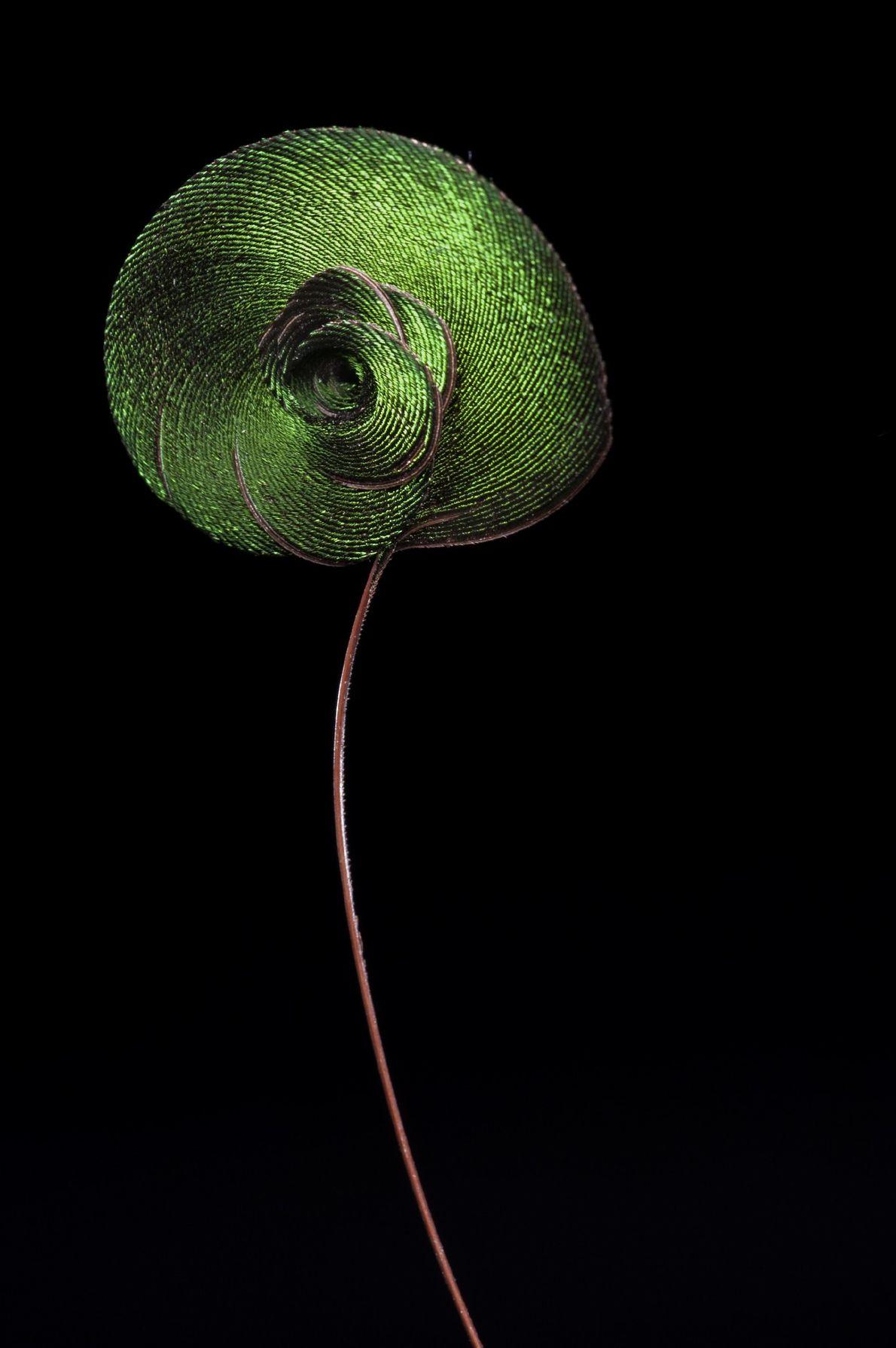 Una única pluma en espiral de un ave del paraíso real (Cicinnurus regius)—vienen de a pares ...