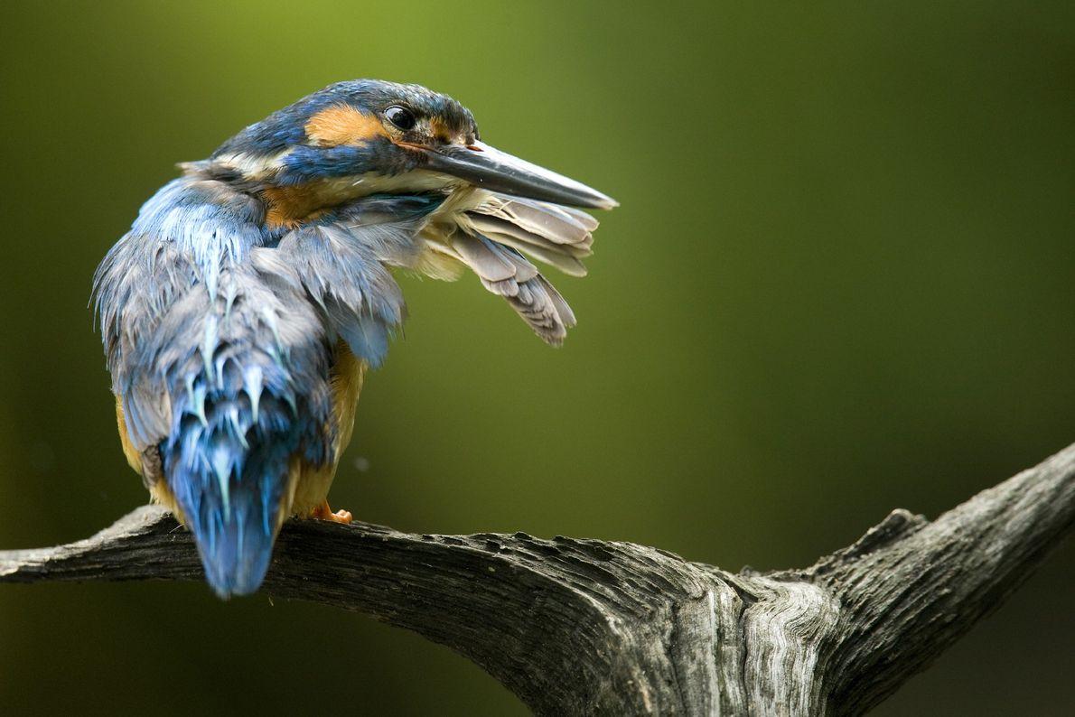 Un martín pescador común (Alcedo atthis) debe prestar mucha atención a la condición de su plumaje ...