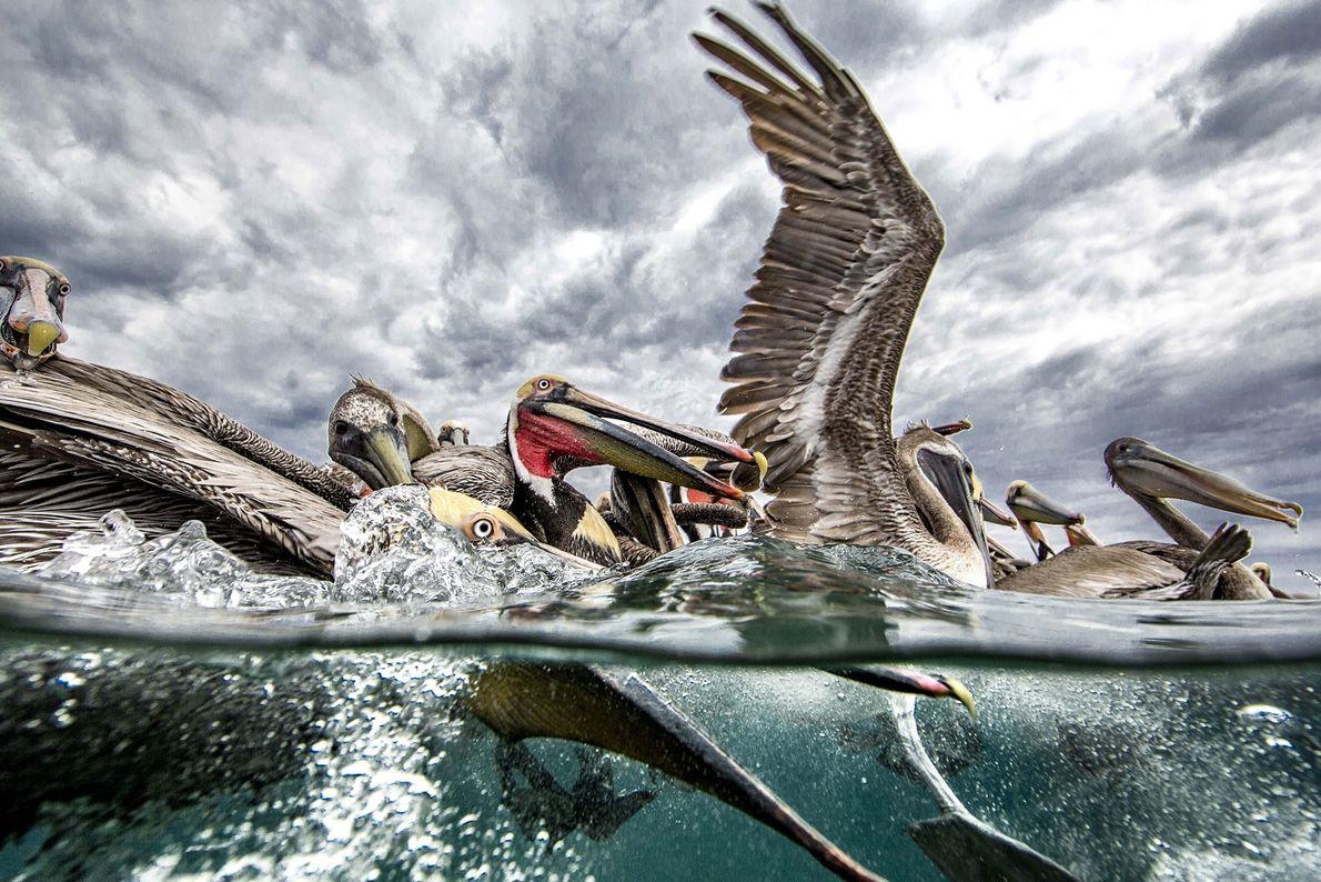 """""""Me divertí mucho fotografiando a los pelícanos pardos en Baja, incluso con el clima algo tormentoso. ..."""