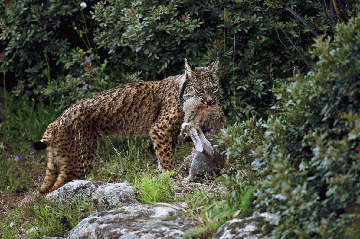 El lince ibérico es quizás el gato montés más amenazado del mundo. Su dependencia casi total ...