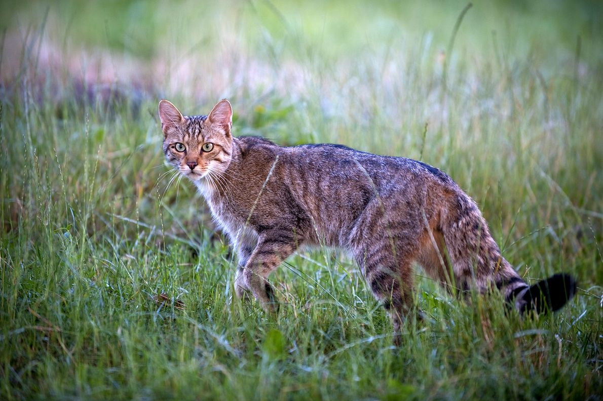 Un gato montés europeo descansa en un prado en Moldavia en el 2009. Estos gatos, conocidos ...