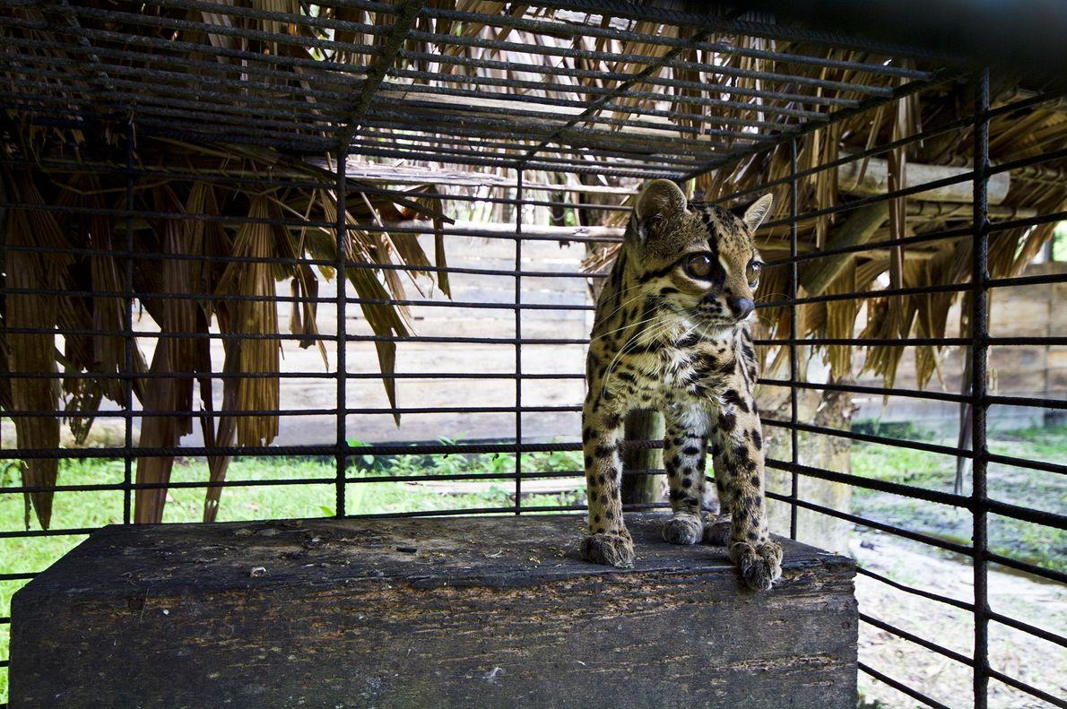 Esta oncilla, también conocida como un pequeño gato moteado o gato tigre, mira detrás de los ...