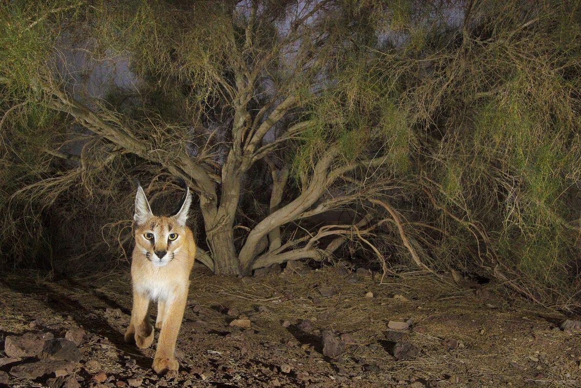 El fotógrafo Frans Lanting tomó una foto de este caracal con una cámara trampa en el ...