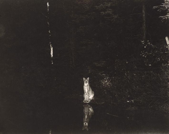 Un lince canadiense visto en la orilla del lago Loon en Ontario, Canadá, en 1906. Está ...