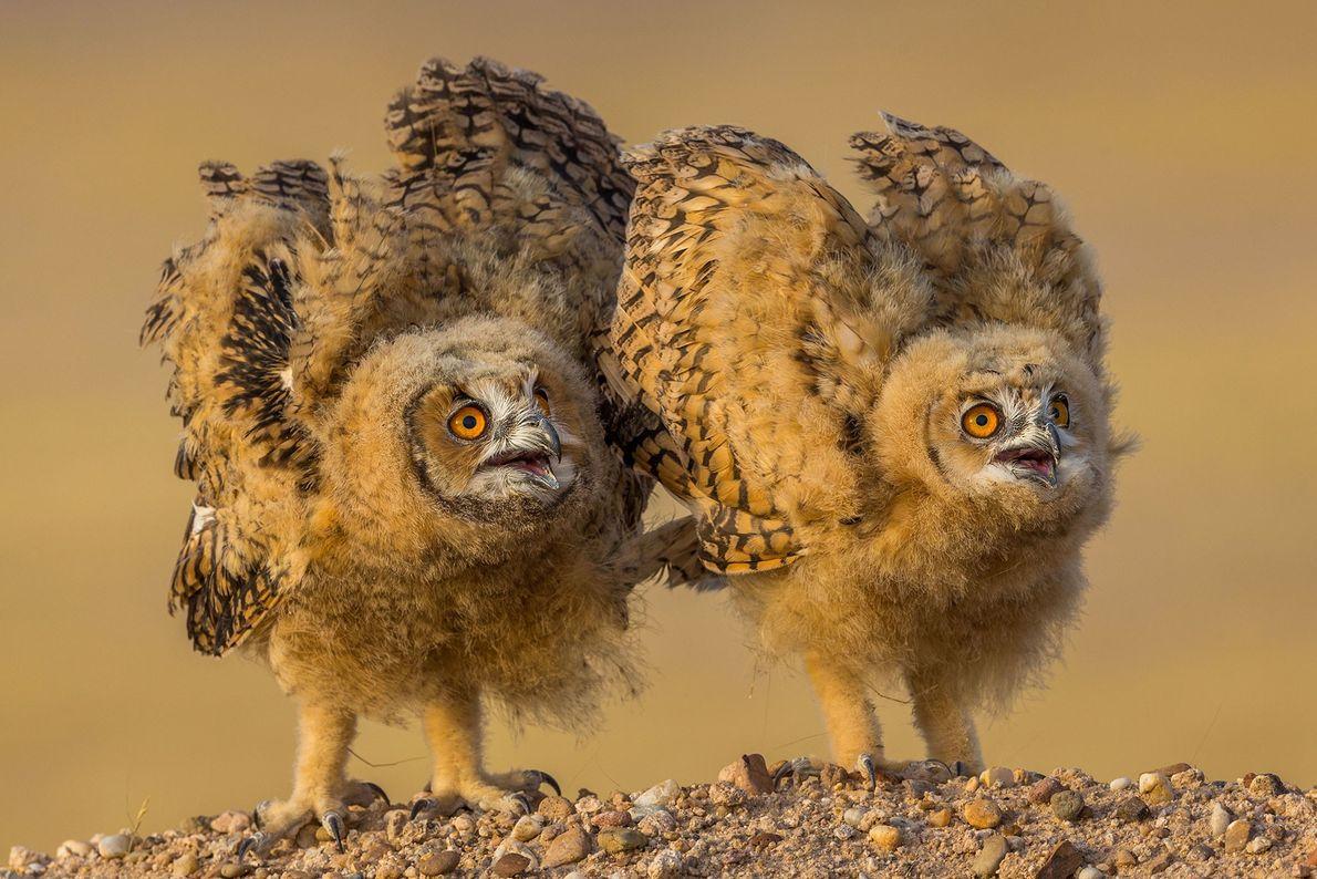 """""""Estos polluelosde búho del desierto se defienden en el desierto de Kuwait"""". – Mohammad Murad"""