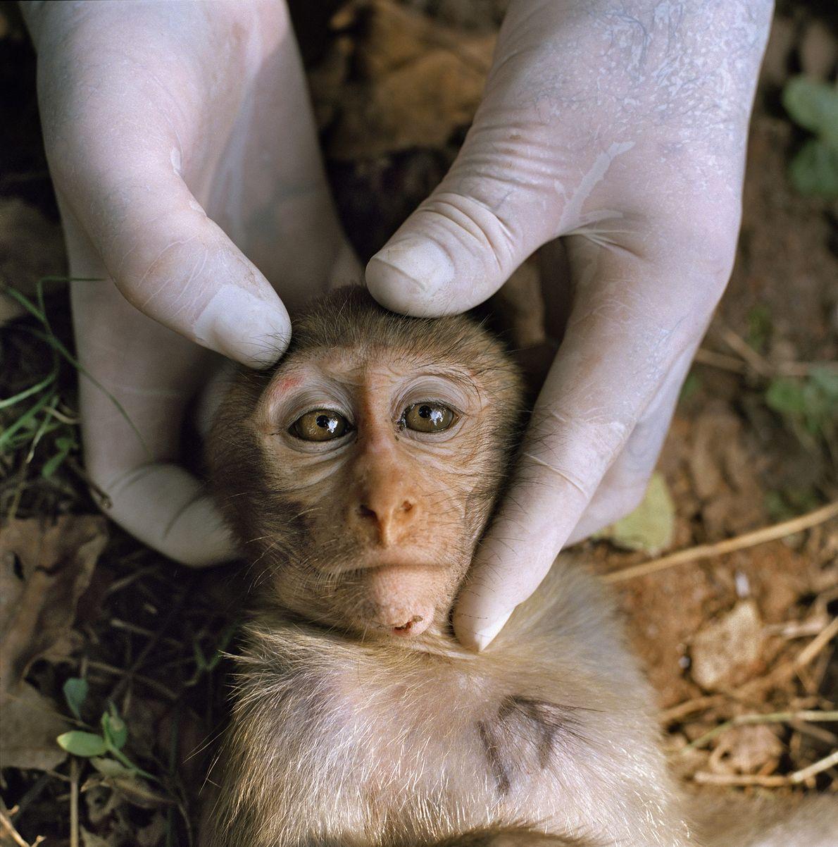 Un investigador de Dhamrai en Bangladesh, manipula a un joven macaco Rhesus sedado.