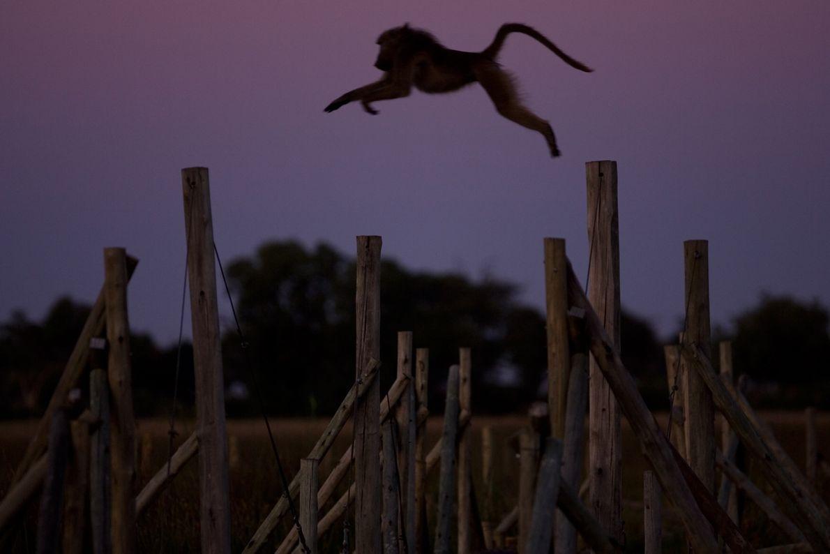 El babuino Chacma da un gran salto mientras cae la noche en Duba Plains, un campamento ...