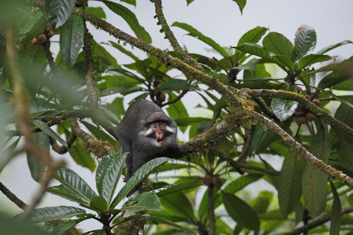 Un mono de orejas rojas se extiende desde las ramas de los árboles en la isla ...