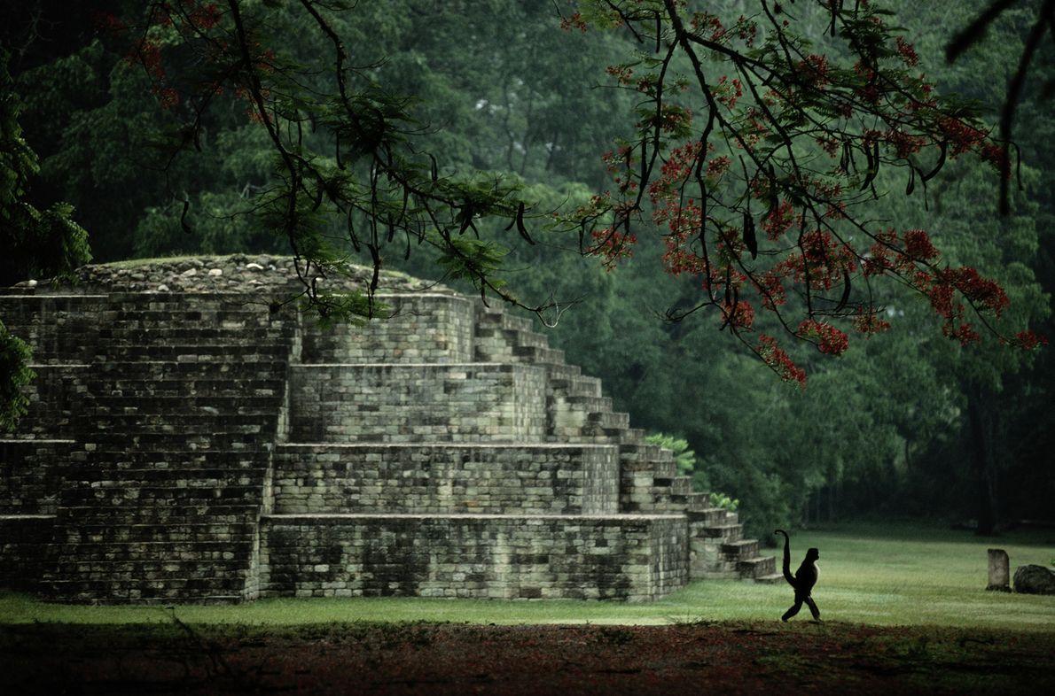Un mono araña pasea con su cola prensil en alto frente a una pequeña pirámide en ...
