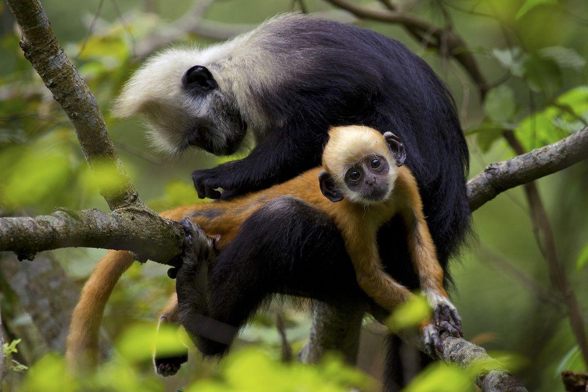 Un langur de cabeza blanca prepara a un joven en un árbol en el parque ecológico ...