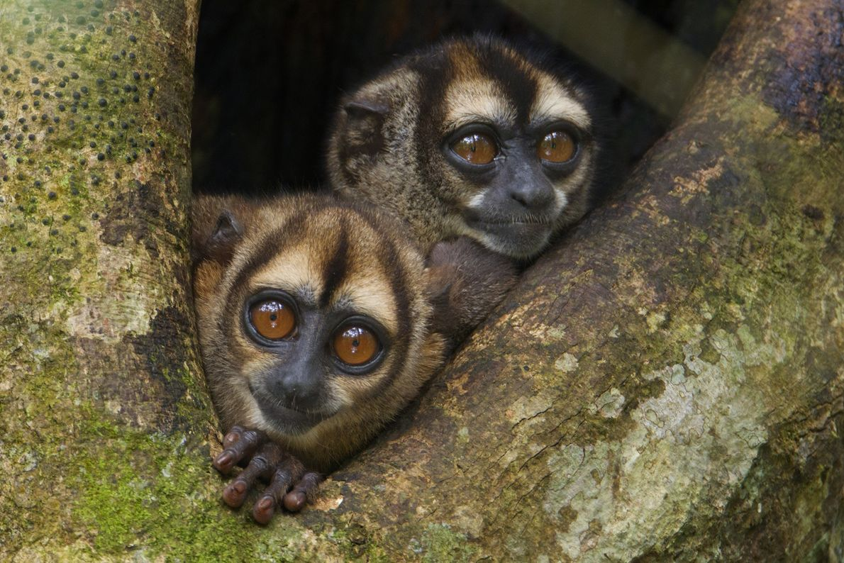 Dos monos búho se asoman de su nido en el Parque Nacional Yasuní. Los monos búhos ...