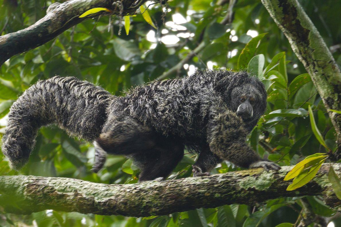 Un saki ecuatorial mira hacia abajo mientras recorre la rama de un árbol en el Parque ...