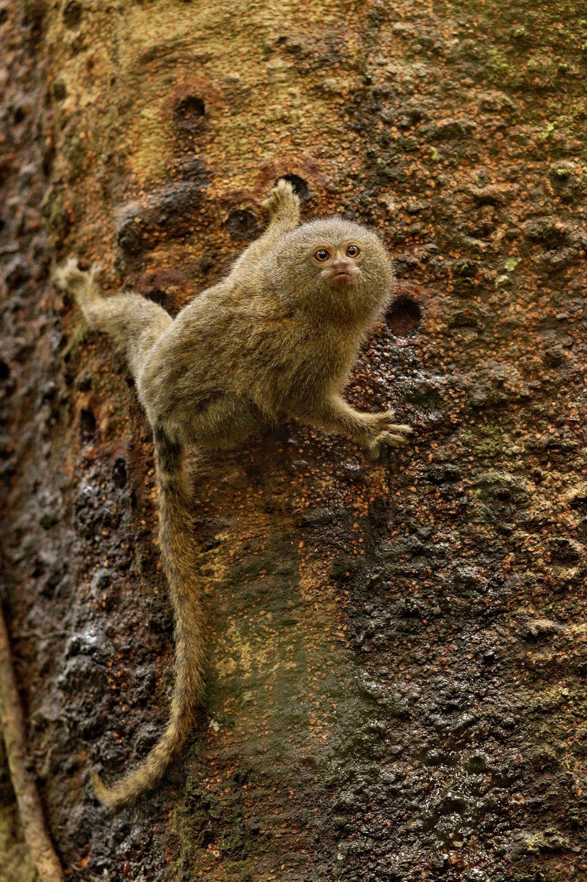 Un tití pigmeo pesa poco más de cien gramos (3,5 onzas). Este mono se está alimentando ...
