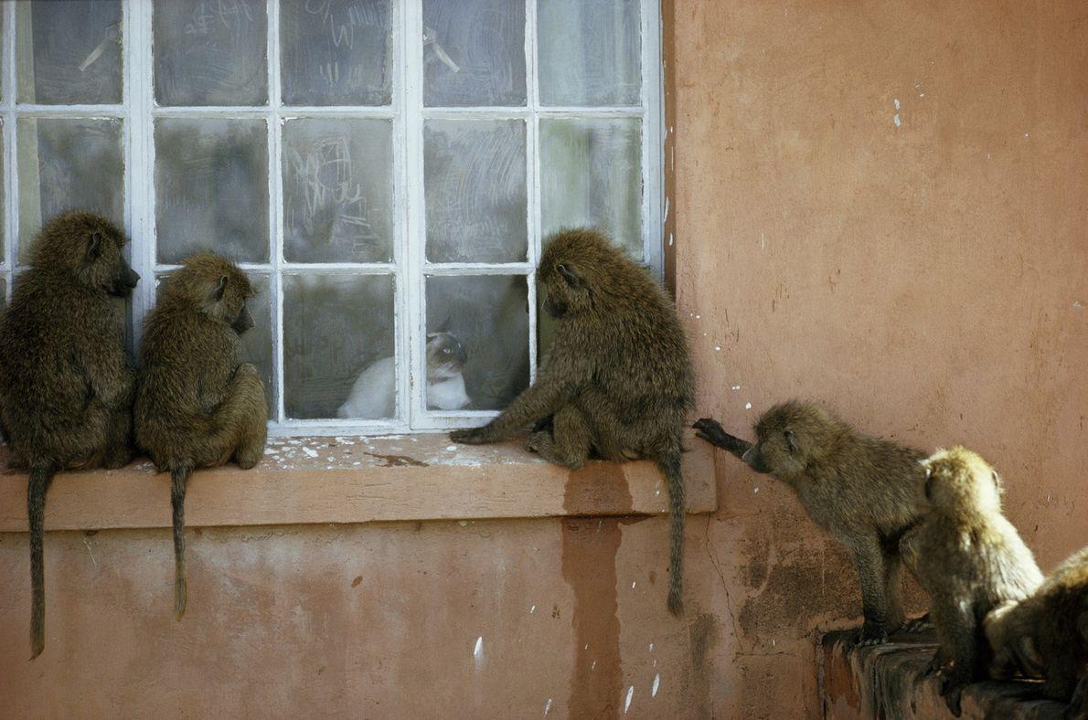 Un grupo de babuinos verdes olivas, también conocidos como babuino de Anubis, se reúnen para mirar ...