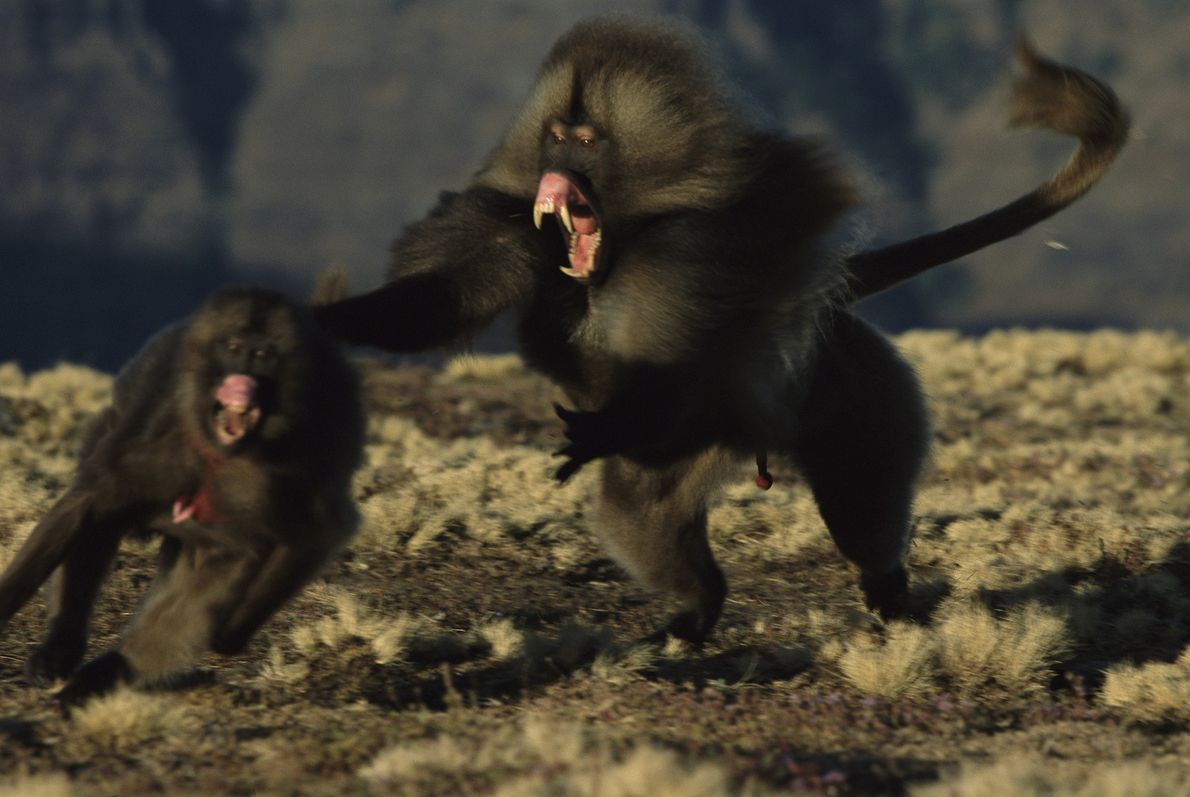 Un mono gelada macho, con los colmillos al descubierto, persigue a una de las hembras de ...