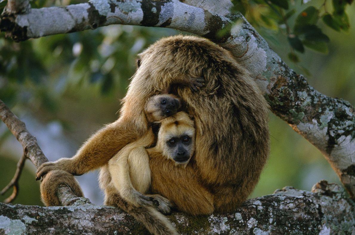 Dos monos aulladores jóvenes miran desde el regazo de su madre en Pantanal, Brasil.