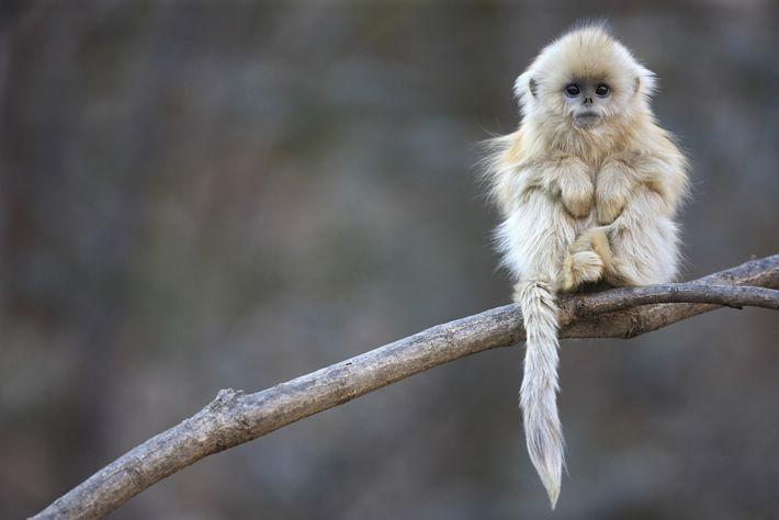 Un mono de nariz chata posa en un bosque alto en la Reserva Natural Nacional Zhouzhi ...